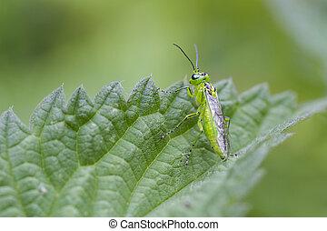 viridis, rhogogaster