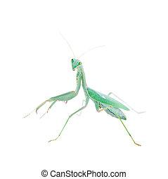 viridis, riesig, sphodromantis, mantis, afrikanisch, weißes