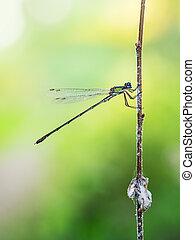viridis., weide, profile., smaragd, damselfly, chalcolestes