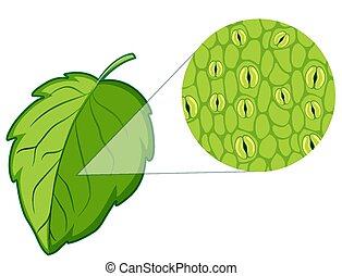 visande, cell, diagram, växt