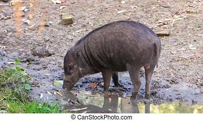 visayan, critically, comportement, grubbing, verrat, boue, cochon, sauvage, philippines, typique, mis danger, espèces, animal, warty
