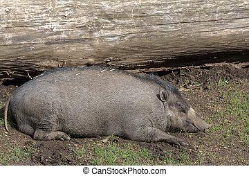 visayan, schwein, warty, sau, eingeschlafen