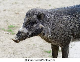 visayan, warty, 豚