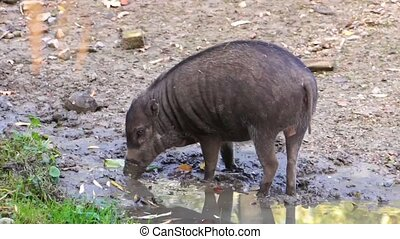 Visayan warty pig grubbing in the mud, typical wild boar ...