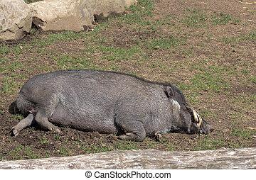visayan, warty, schwein, eber, eingeschlafen