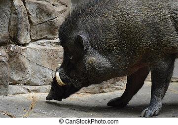 visayan, warty, schwein