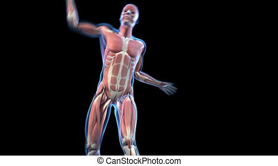 Visible muscles - Medical animation of a tennis player...