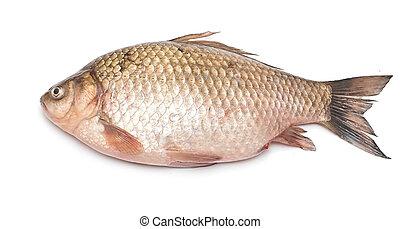 visje, vrijstaand, crucian, achtergrond, witte , carp
