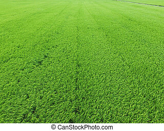 vista aérea, de, campo arroz