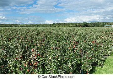 vista aérea, de, holandês, pomar, com, amadurecer-se, maçãs vermelhas