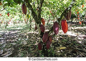 vista, cacao, plantação