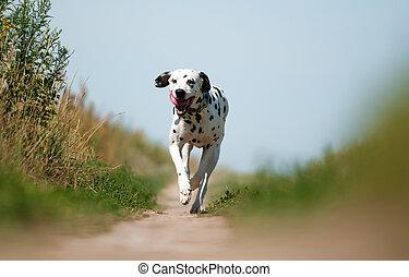 vista delantera, de, dálmata, perro, corriente, en,...