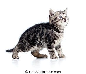 vista lateral, de, engraçado, pequeno, gatinho, isolado, branco, fundo