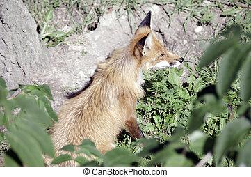vista laterale, di, volpe rossa