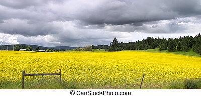 vista panorámica, rapeseed, campos