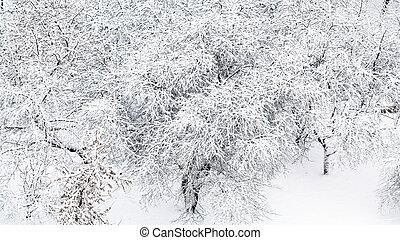 vista panoramic, de, nevado, maçã, árvores, em, pomar