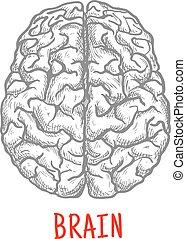 vista superiore, di, cervello umano, schizzo, stile
