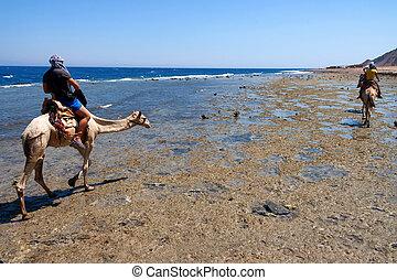 vista traseira, nômades, liderar, camelo, viagem, em, egito