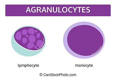 vit, agranulocytes, blod, cells.