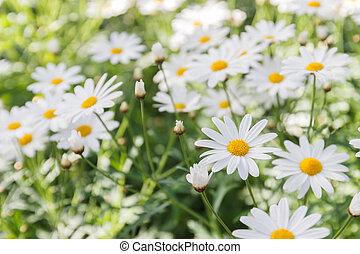 vit, blomma, bakgrund, tusensköna