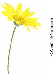 vit, blomma, isolerat, tusensköna