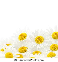 vit, blomma, Tusenskönor, bakgrund