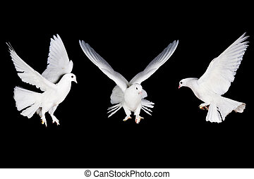 vit, duva, och, hand