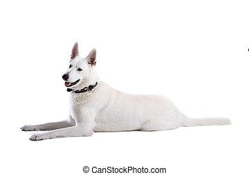 vit, fåraherde, hund