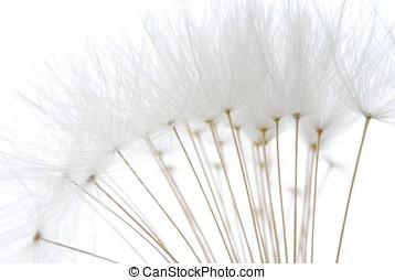 vit, frö, mjuk, maskros