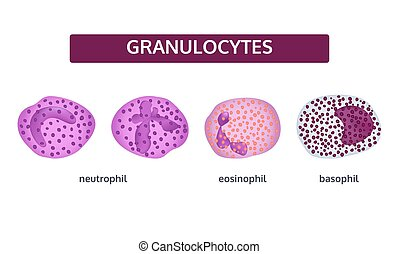 vit, granulocytes, blod, cells.