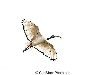 vit ibis, i flykt