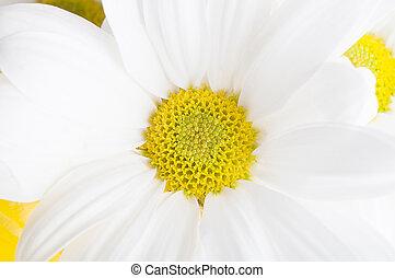 vit, krysantemum, blomma, makro