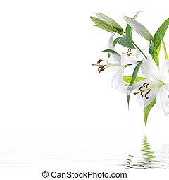 vit, lilia, blomma, -, kurort, design, bakgrund