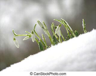 vit, snödroppe