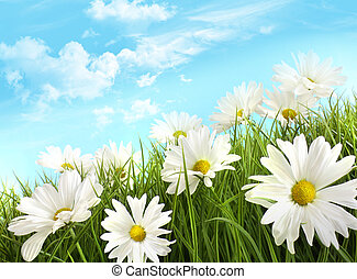 vit, sommar, tusenskönor, in, långt gräs