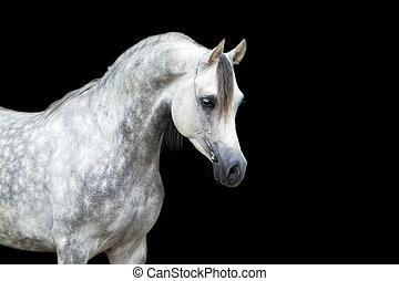vit, svarting bygelhäst, isolerat