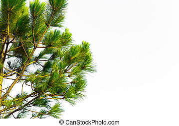 vit, träd, isolerat, fura, filial