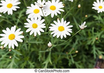 vit tusensköna, blomma, för, bakgrund