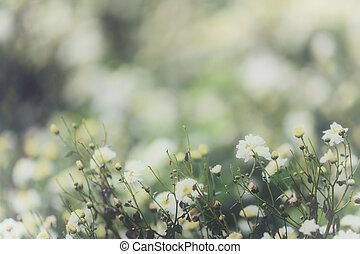 vit tusensköna, blomma, in, natur