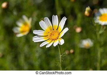 vit tusensköna, blomma, med, gul, centrera, in, gröna gärde