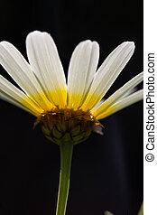 vit tusensköna, blomma, med, gul, centrera, sida, skott, mörk, bakgrund.