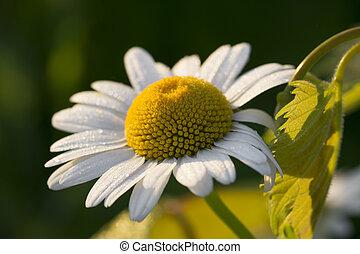 vit tusensköna, med, morgon, dagg