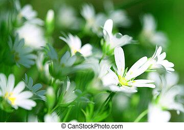 vit, vår blommar