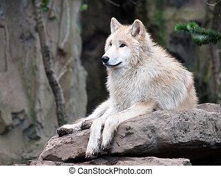 vit wolf, på, sten