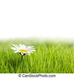 vita blomma, grönt gräs, tusensköna