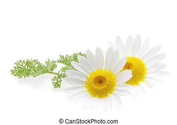 vita blomma, isolerat, tusensköna