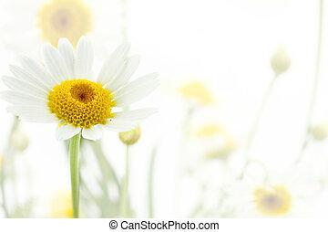 vita blomma, mjuk, bakgrund, tusensköna