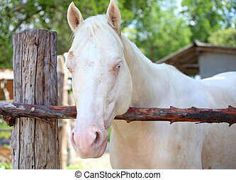 vita bygelhäst