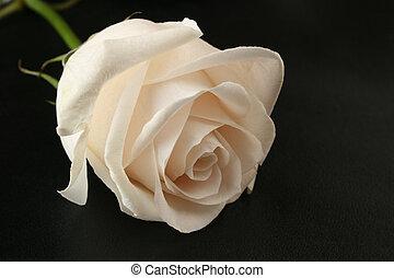 vita rosa, på, svart
