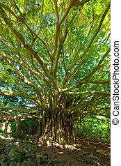 vita, strabiliante, albero banyan